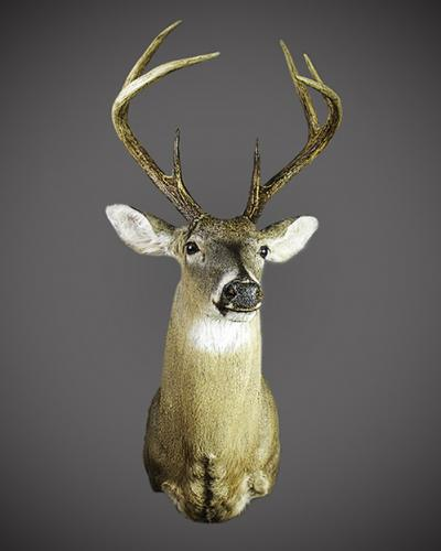 whitetail shoulder